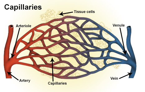 Illustration of capillaries