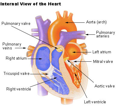 Illustration of an internal view of the heart