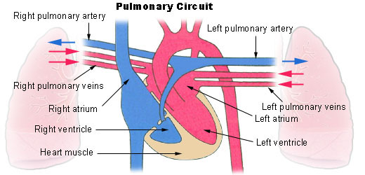 Illustration of pulmonary circulation
