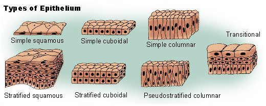 Illustration of epithelial tissue