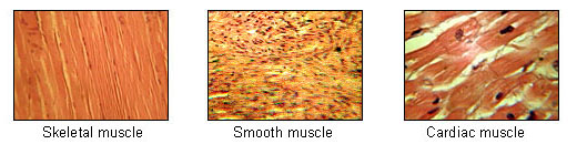 Photograph of skeletal, smooth, and cardiac muscles