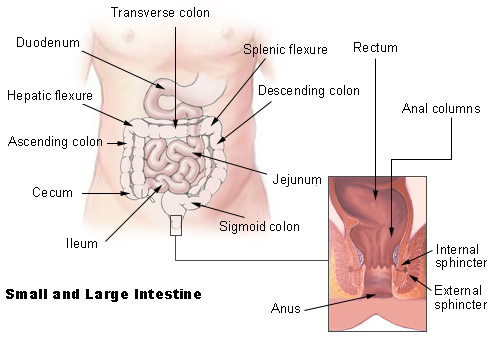 Illustration of the small and large intestines