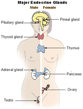 Illustration showing the different types and locations of endocrines glands in both males and females