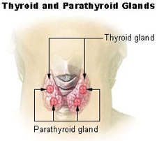 Illustration of the thyroid and parathyroid glands