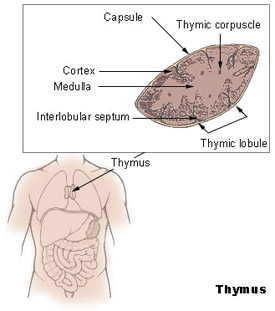 Illustration of the thymus and its location in the human body