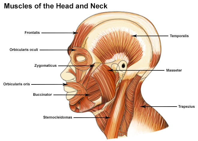 seer training: muscles of the head and neck, Muscles