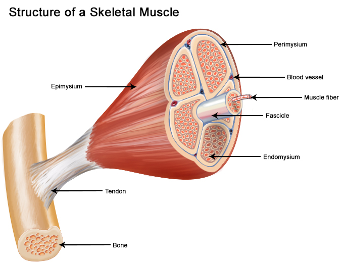 seer training: structure of skeletal muscle, Human body