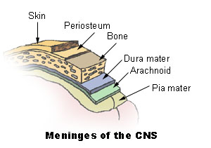 Meninges of the CNS