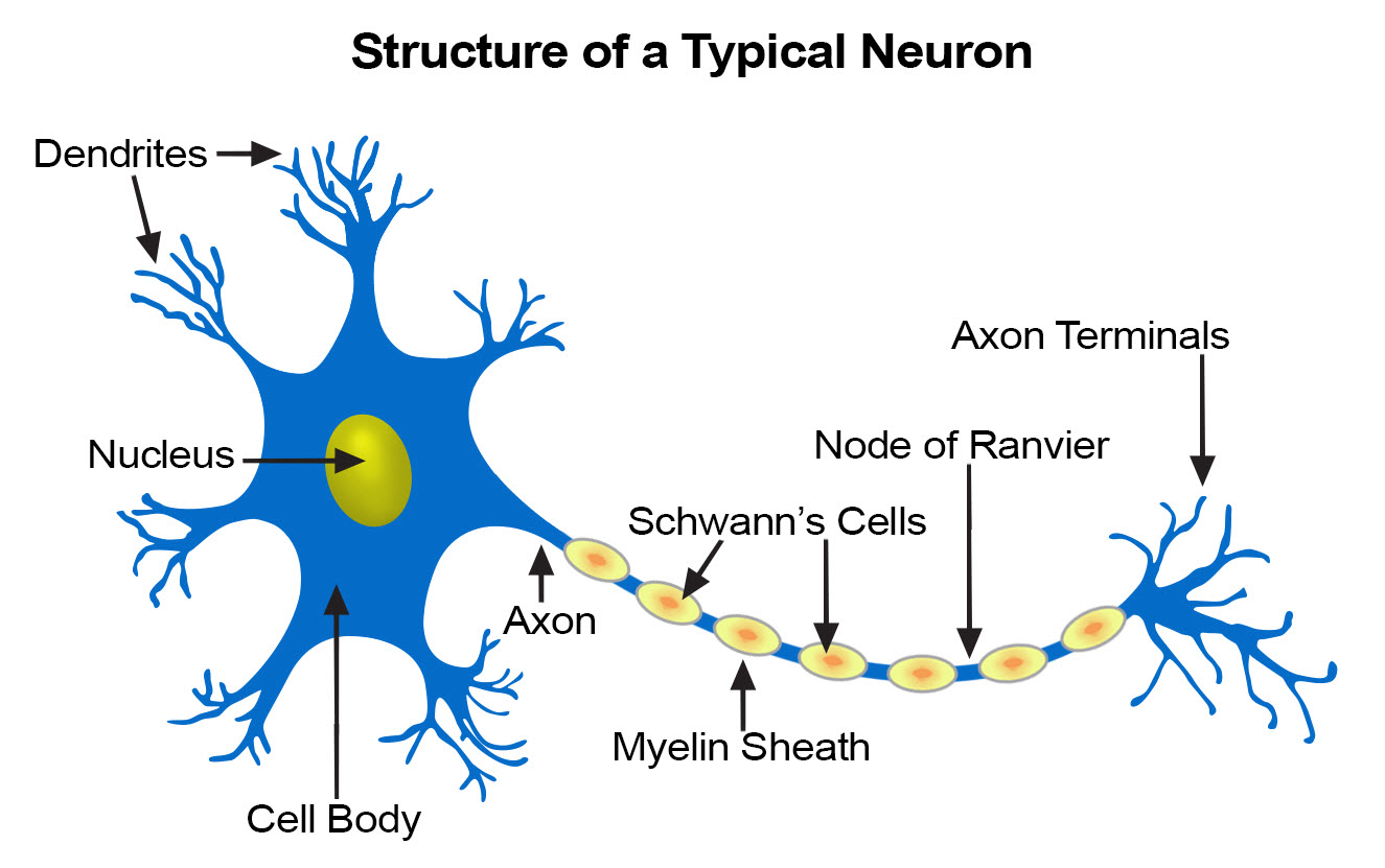 neural tissue Nervous tissue: this is the primary tissue of the central nervous system it is composed of neurons and is responsible for controlling body functions epithelial tissue: this tissue covers.