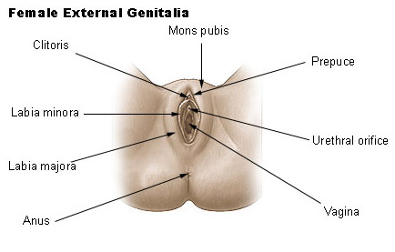 Illustration of female genetalia