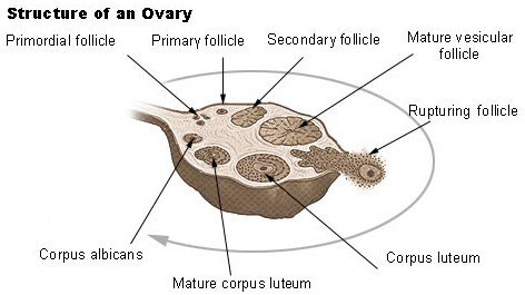 illustration of the structure of an ovary