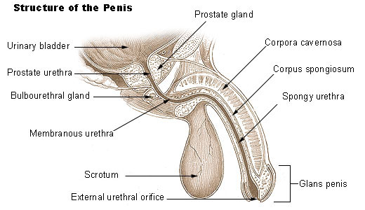 Illustration of the penis