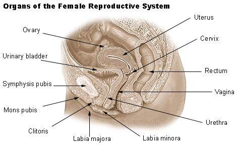 Illustration of the organs of the female reproductive system