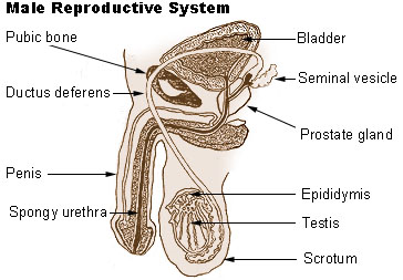 SEER Training: Male Reproductive System