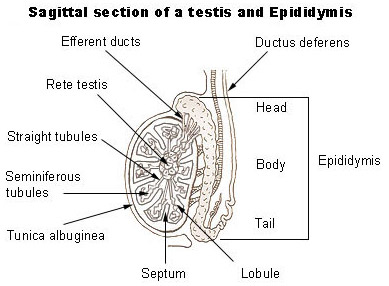 Illustration of a sagittal section of a testis and epididymis