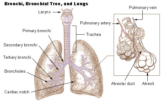 Illustration of the bronchi bronchial tree and lungs