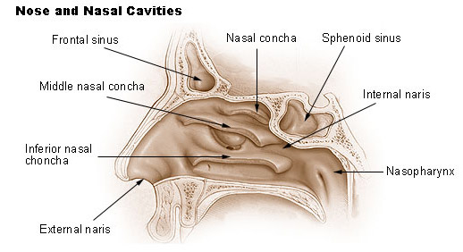 Illustration of the nose and nasal cavaties