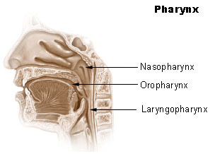 Illustration of the pharynx