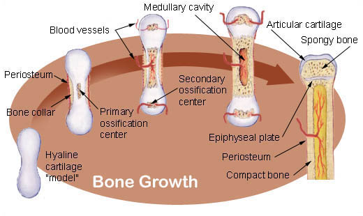 Illustration showing how a bone develops and grows