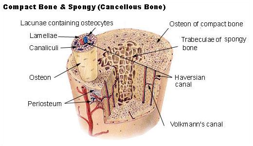 Illustration of compact and songy (cancellous) bone