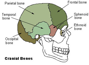 Illustration mapping cranial bones