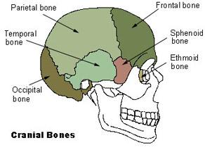 Axial Skeleton (80 bones) | SEER Training