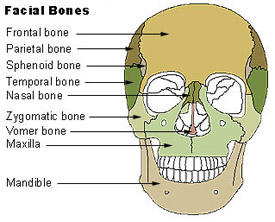 Illustration mapping out the different types of facial bones