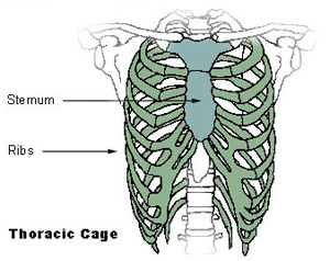 Illustration mapping the bones of the thoracic cage