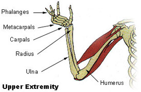 Illustration mapping the bones of the upper extremity