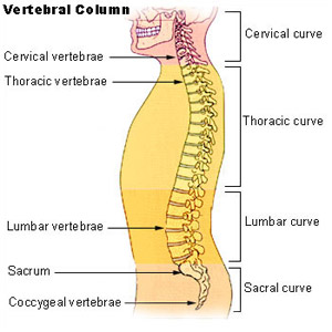 Illustration mapping the bones of the vetebral column