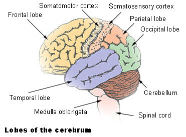 Illustration of the lobes of the cerebrum