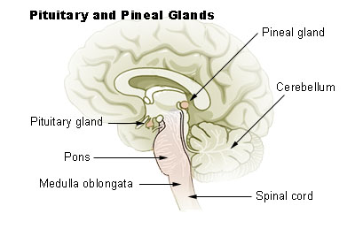 Illustration of the pituitary and pineal glands
