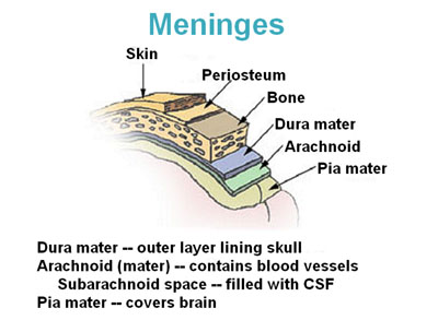 Illustration of the layers of meninges