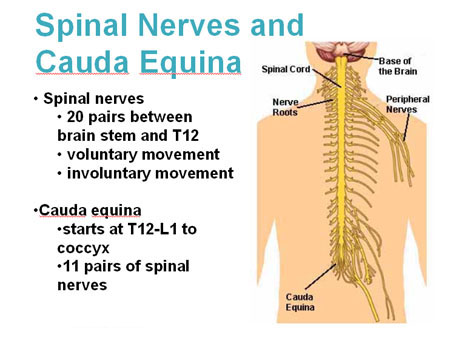 Illustration of the nerves and cauda equina