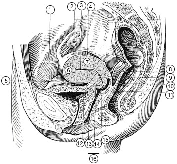 female_pelvis.jpg