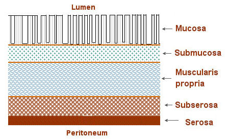 Illustration of the layers of the bowel wall.