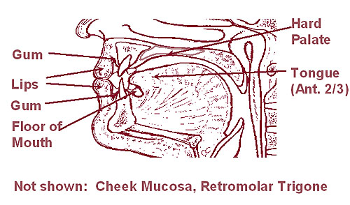 Illustration of the lip and oral cavity (cheek mucosa and retromolar trigone not shown).