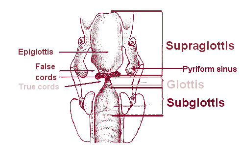 Illustration of the subsite of larynx.