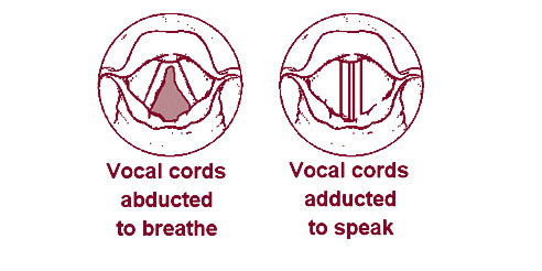 Illustration of the vocal cords from above as they appear when breathing and speaking.