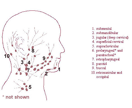 Illustration of the regional lymph nodes of the head and the neck.