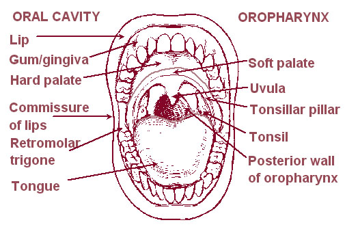 Illustration of the oral cavity and oropharynx.