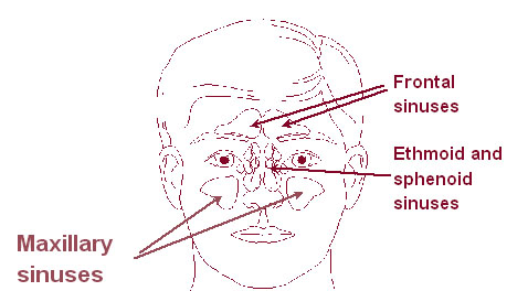 Illustration of the sinuses.