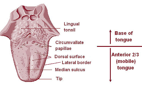 Illustration of the base and anterior of the tongue.