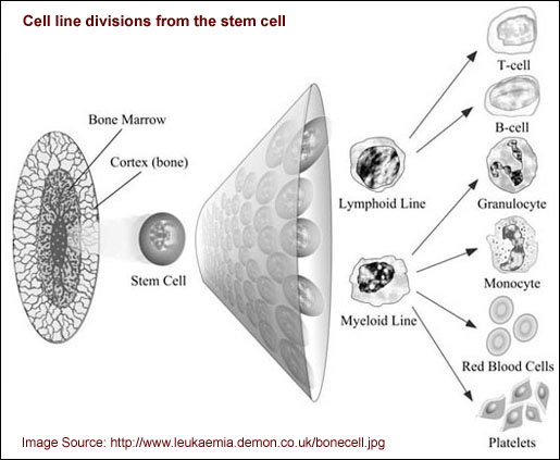 Cell line divisions graphic