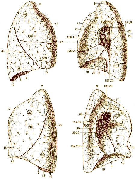 SEER Training: Illustration of the Lung