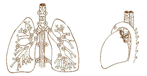 Illustration of the lymph nodes of the lungs.