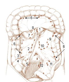 Numbered illustration of the lymphnodes of the large intestine and the lower abdomen