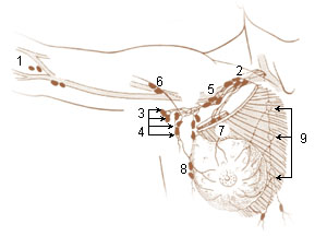 Numbered illustration of the lymph nodes of the upper limb and breast