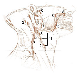 Numbered illustration of lymph nodes of the surface of the head and neck and of the face