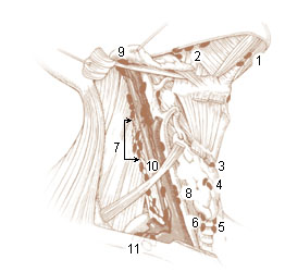 Numbered illustration of the deep lymph nodes